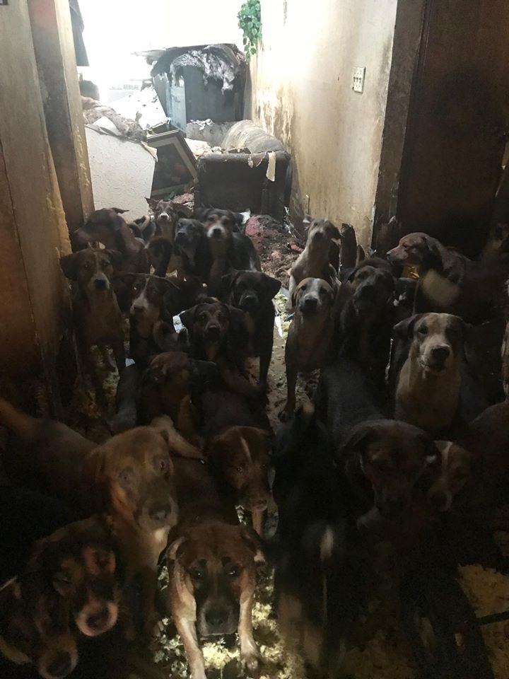 more than 50 dogs and puppies found during house fire  u2022 pet rescue report