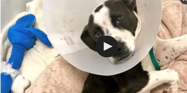 Dog's gunshot wound results in amputation