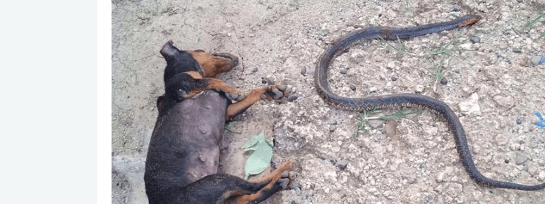 Dogs fought deadly snake