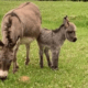 miniature pet donkeys killed