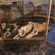 dozens of dogs and rabbits found living in squalor