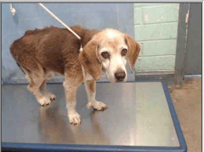 Elderly beagle