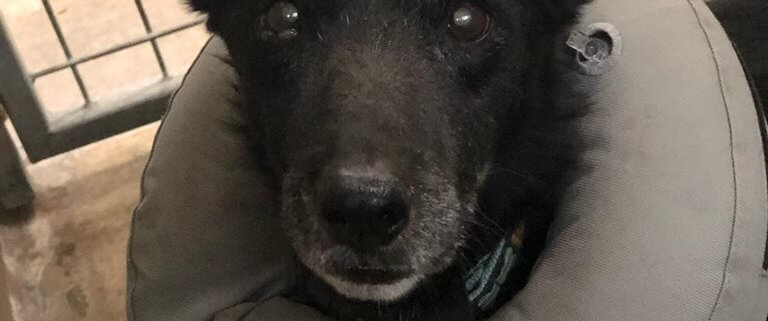 Elderly, injured dog surrendered by her family