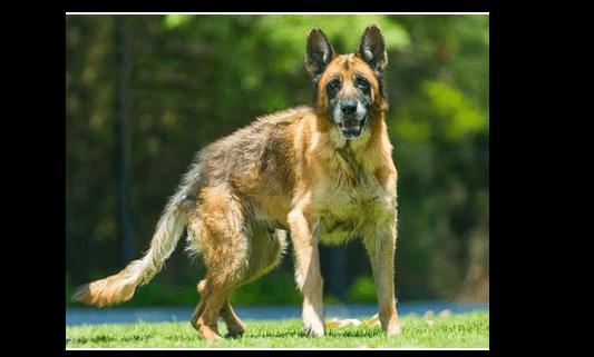 Elderly shepherd forgotten at shelter