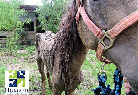 skeletal horse rescued from deplorable conditions