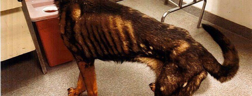 Emaciated shepherd found in deplorable conditions