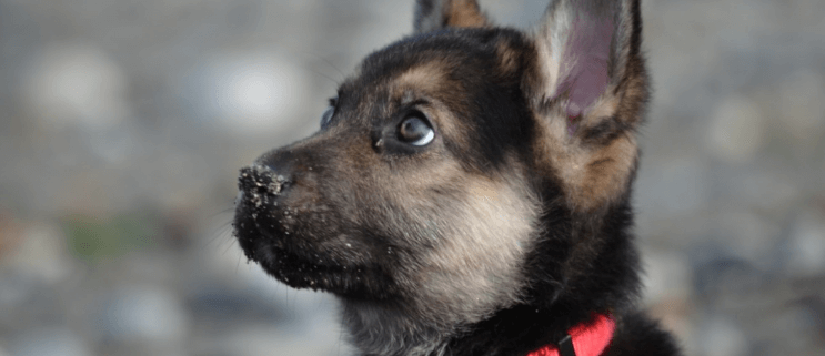 Surgery may save dying puppy
