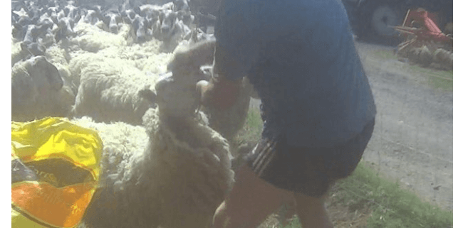 Farmer caught punching a sheep in the face