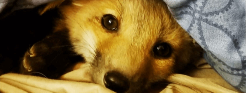 Officials euthanized woman's fox