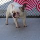 French bulldogs available for adoption