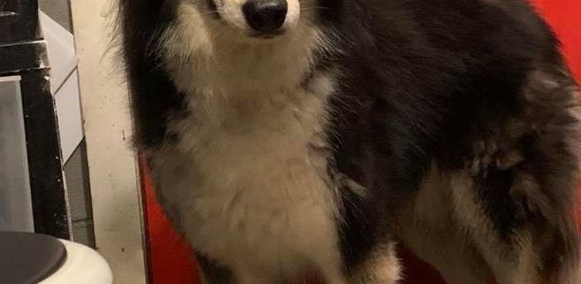 nobody wants funny looking husky