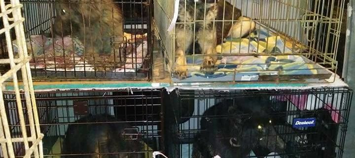 German shepherds saved from cages