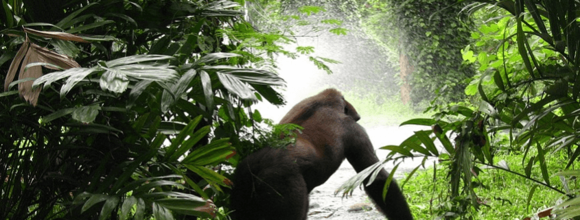 Deadly ambush at gorilla park