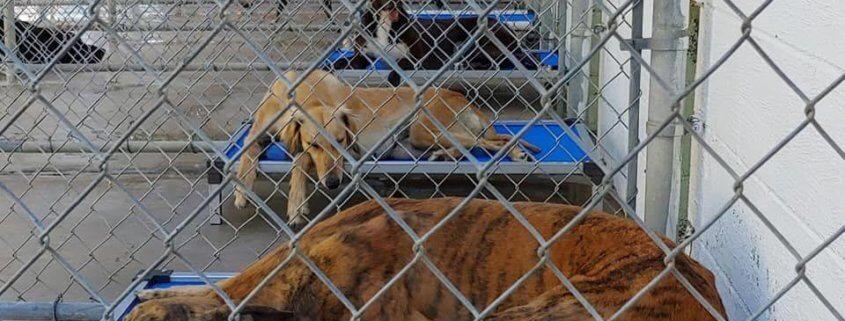 Greyhound crisis