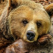 Grizzly bears killed after hunter attacked