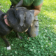 Dog with swollen head found