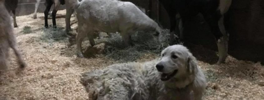 Devoted dog refused to leave goats