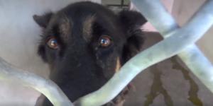 Shepherd stressed, sad and confused