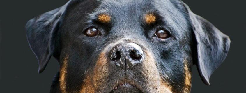 Heroic dog