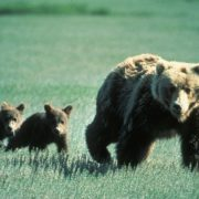 cubs orphaned, hikers shot mother bear
