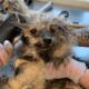 Horribly neglected dog Ziggy