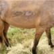 horse injured