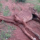 Skeletal horse starved to death