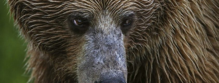 Hunter mauled by grizzly bear