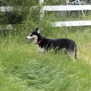 Husky impounded after killing spree