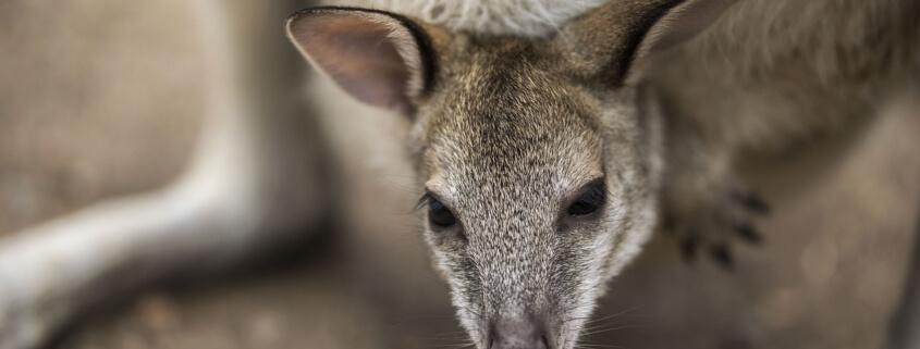 A baby kangaroo is missing
