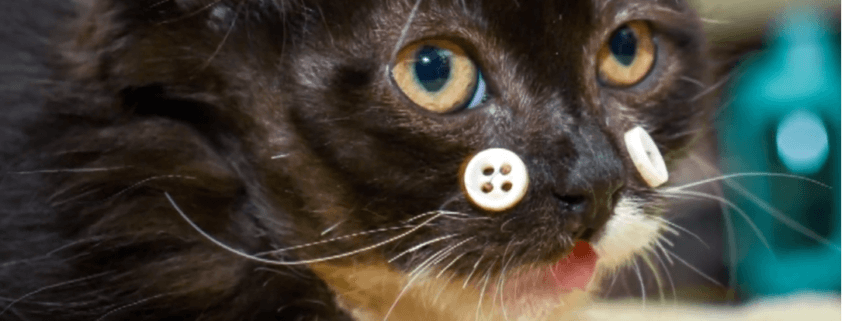 Kitten recuperating with buttons