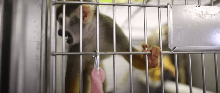 monkeys freed from lab
