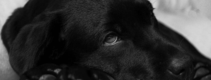 Covid positive dog dies