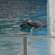 Lonely dolphin dies