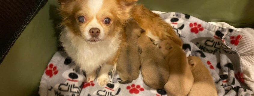 Mother dog takes in orphaned puppies