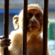 Men accused of burning caged monkey alive