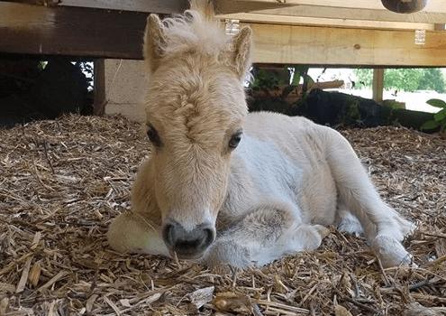 Miniature horse vanished