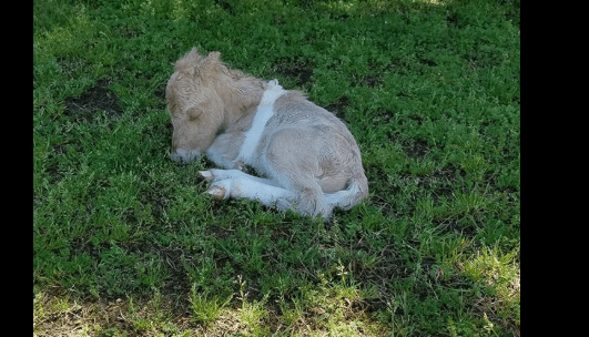Baby miniature horse vanished