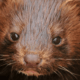 Mink are being killed in Denmark