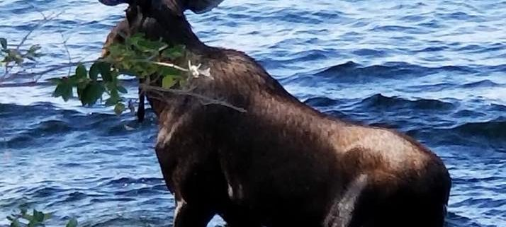 Moose drowned after being spooked