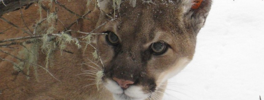 Mountain lions killed
