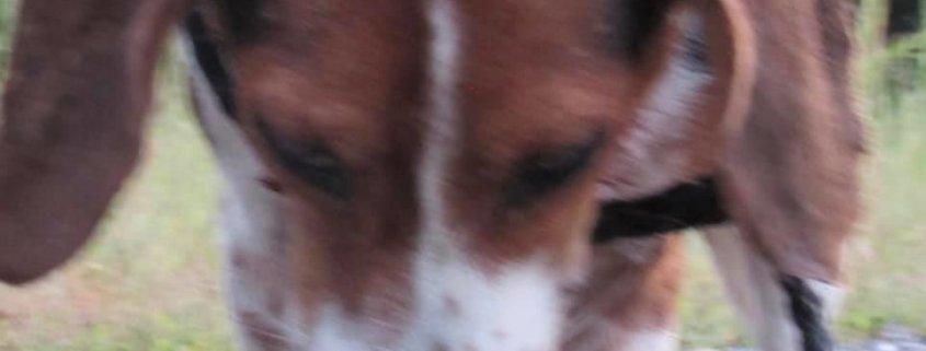 mutilated beagle