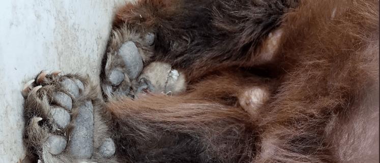 Necropsy on bear explains erratic behavior