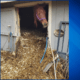 neglected horses trapped in stalls
