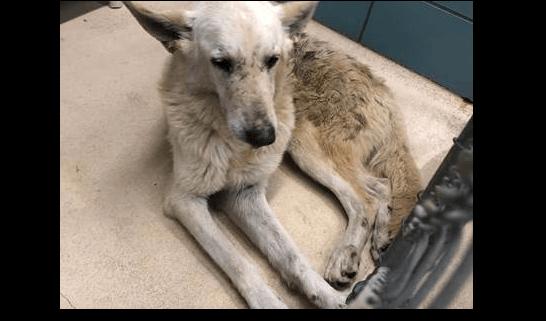 Neglected shepherd needs help