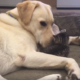 Nurturing dog cuddles with abandoned kitten