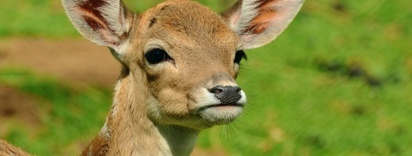 Officer accused of running over injured fawn