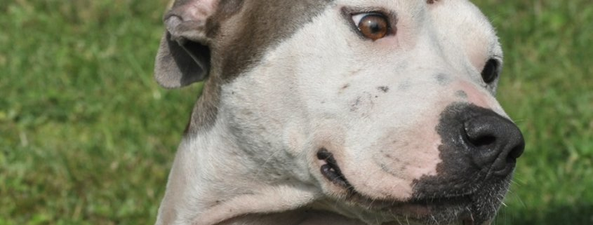 Overbred and overlooked dog wags her tail for attention