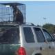 Owner explains dog in cage on car