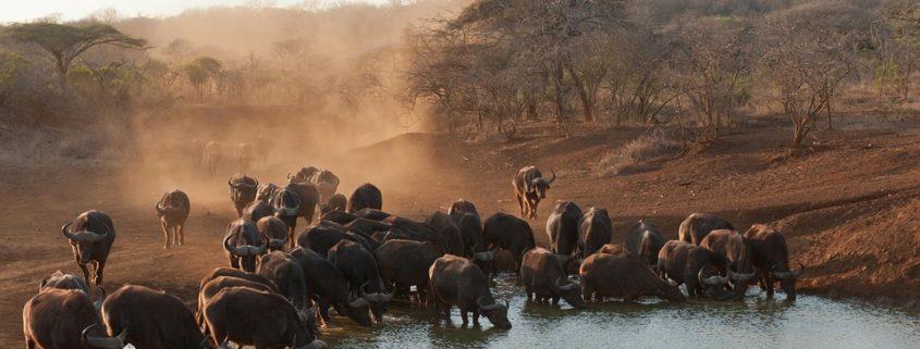 panicked buffalo drowned